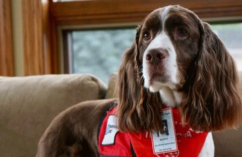 Murphy, the Springer Spaniel therapy dog