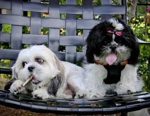 Sam and Harlem, dogs that, with PALS support, brought love and comfort to a person living with cancer