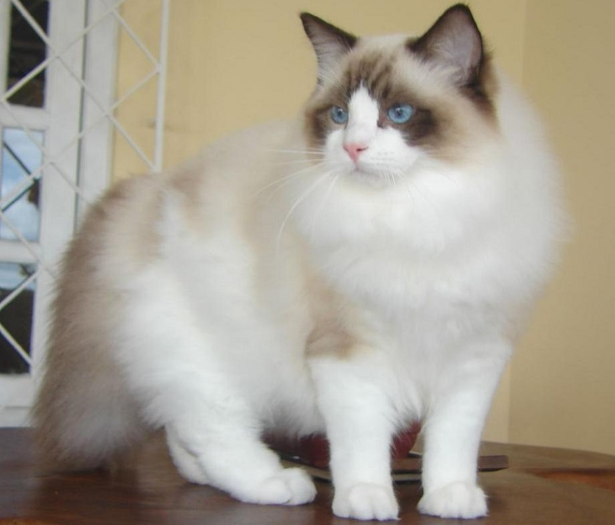 Ragdoll Cat is Most Popular